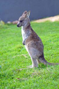 Victoria in Australien: Wallaby