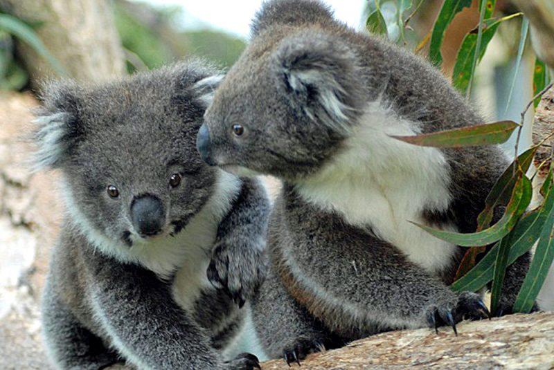 Victoria Australien: Koala Babys auf dr Eco Lodge