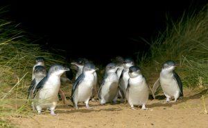 Victoria in Australien: Zwergpinguine auf Phillip Island