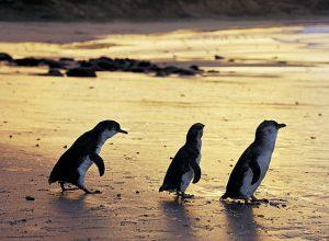 Victoria in Australien: Pinguin Parade auf Phillip Island