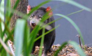 Victoria in Australien: Tasmanischer Teufel