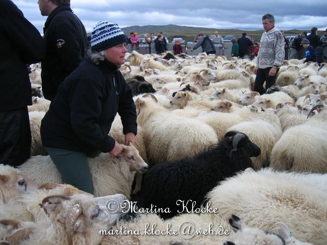 Martina Klocke beim Schafabtrieb in Island.