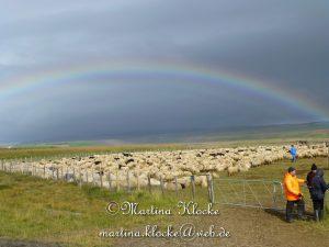 Schafabtrieb auf Island