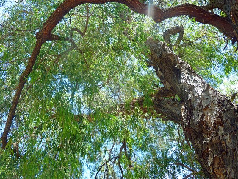 Australienromane Pfefferminzbaum